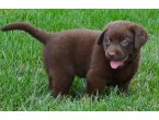Hermosa Labrador Retriever cachorros para la venta