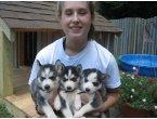 cachorros husky siberiano macho y hembra para la adopción.