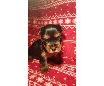Regalo toy cachorros yorkshire terrier yorkie