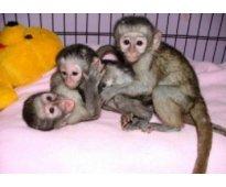 Monos bien entrenados y bebés chimpancés en venta