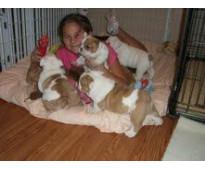 Los cachorros de Bulldog Inglés están en necesidad de casas nuevas