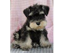 Regalo Hermosos cachorros de raza Schnauzer Miniatura