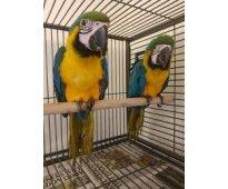 macho y hembra guacamayo azul y oro