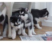 lindos machos y hembras Husky Siberiano cachorros disponibles
