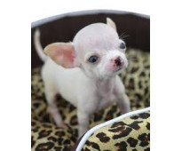 Linod Chihuahua cachorros