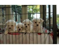 Cachorros maltés registrados y criados en casa para usted