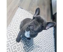 Hermosas Bulldog Frances Cachorros Para Adopción