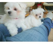 Adorable pedigrí maltesos cachorros