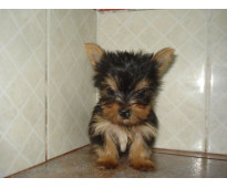 hermoso cachorrito yorkshire mini mini
