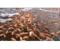 geomembrana, finca, inversiones, mascotas, peces inversion rentable con reservor...