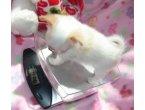 Masculino e feminino chihuahua cachorros disponíveis para venda