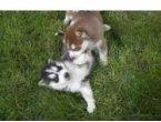 Regalo Hermosos Cachorros Husky Siberiano con ojos azule forma gratis a todos