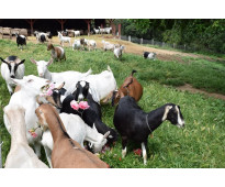 Cabras lecheras y cabras de carne para la venta