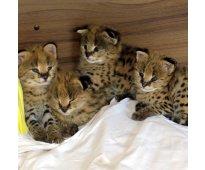 Serval, savannah & caracal gatitos a la venta