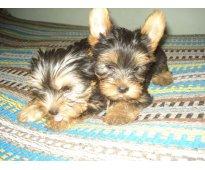 Excelente y hermosa cachorrita yorkshire terrier mini mini   6500 $