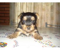 Hermosa cachorrita yorkshire mini mini $8000