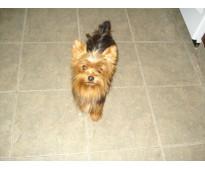 Ermosa cachorrita yorkshire mini mini $8000