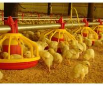 Pollos bb y ponedoras
