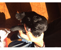 Vendo cachorros schnauzer gigante registrados con papeles