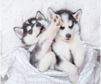 Dos cachorros de husky hembra y macho para tu hogar