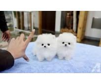 Adorables cachorros de pomerania machos y hembras para tu hogar