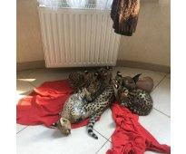 Bien entrenados gatitos exóticos serval, savannah y caracal.