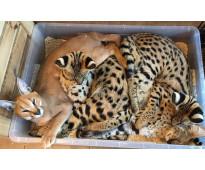 Serval, caracal, sabana y gatos exóticos.
