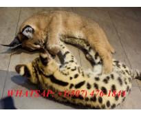 Domesticado serval , caracal y sabana gatitos