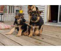 Kcc cachorros pastor alemán negro y fuego
