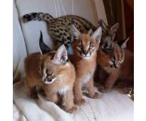 Gatitos serval, savannah y caracal disponibles para la venta