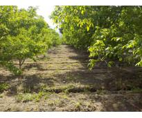 Putaendo dueño vende excelente terreno con nogales